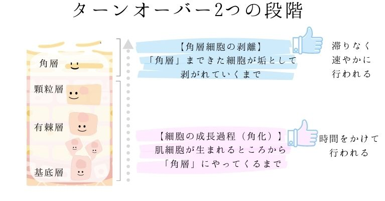 肌のターンオーバー2つの段階